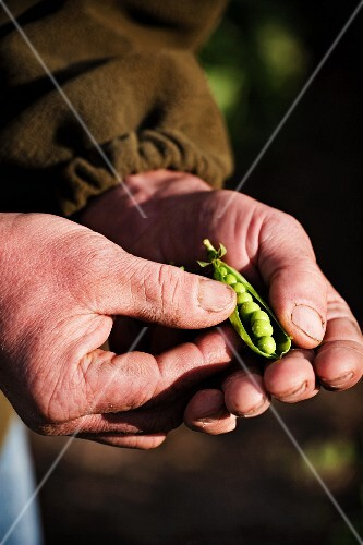 A farmer holding freshly harvested pea pods