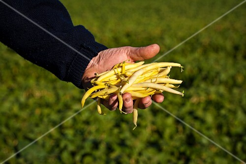 A farmer holding freshly harvested yellow beans