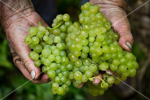 Pinot blanc grape harvest at the Franzen vineyard, Bremm, Rhineland Palatinate, Germany