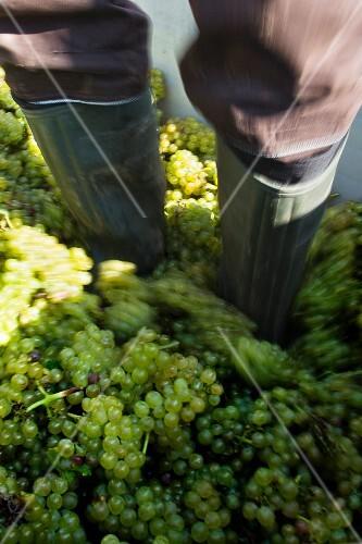 Grape harvest at the Franzen vineyard, Bremm, Rhineland Palatinate, Germany (type of grape pinot blanc)