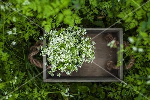Wild herbs in a wooden crate in a garden
