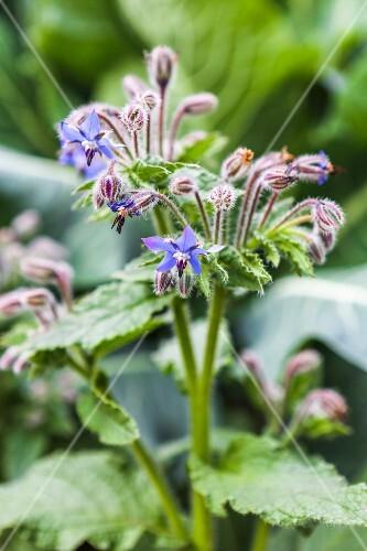 Fresh flowering borage in a garden