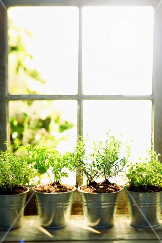 Various kitchen herbs in metal pots on a windowsill