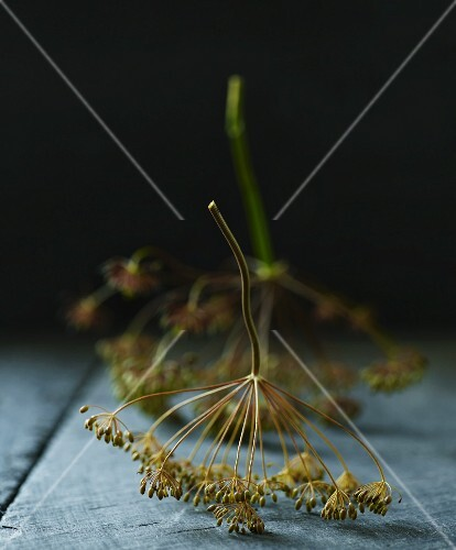 Two dill flowers