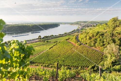 Roter Hang, the wine-growing region between Nierstein and Nackenheim, Rhine-Hesse, Germany