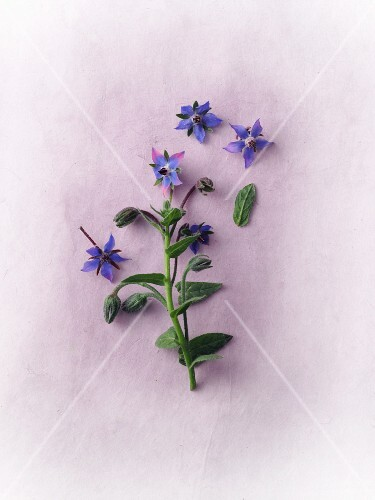 Fresh borage with flowers