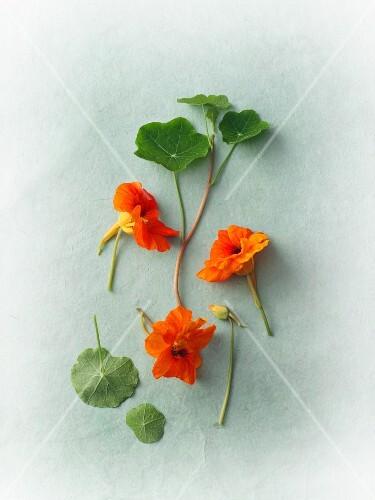 Flowering nasturtiums