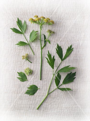 Fresh lovage with flowers