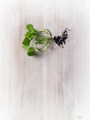 Fresh purslane with soil and roots