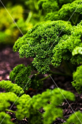 Fresh parsley in a vegetable patch