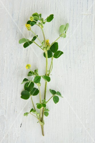 Hops clover on a white surface