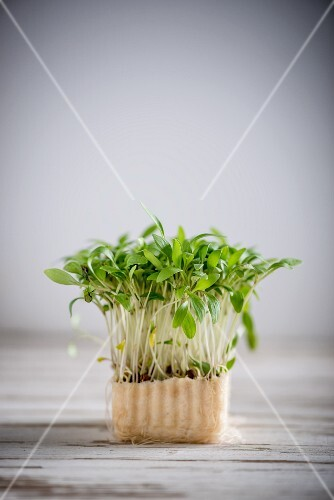 Fresh coriander shoots