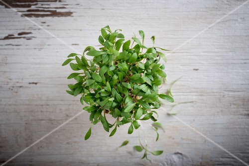 Fresh coriander shoots on a white wooden surface