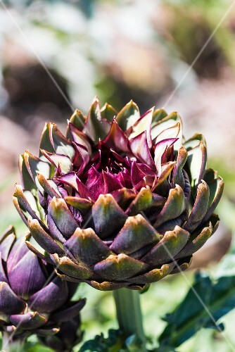 An opened artichoke in the sunshine