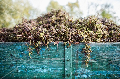 Grape stems after destemming in a wooden wagon