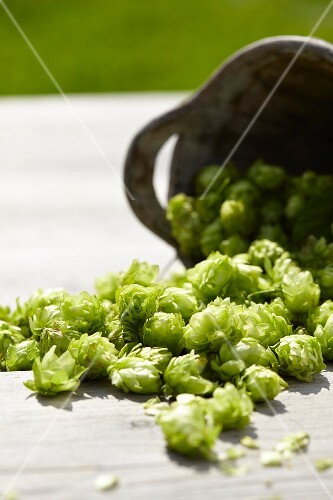 Hops umbels falling from an fallen container