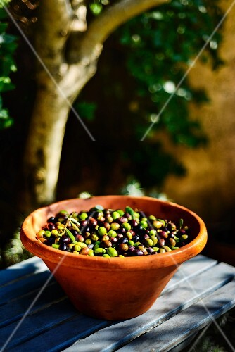 Freshly harvested olives in a terracotta bowl on a garden table