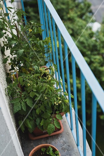 Tomato plants and herbs in flower pots on a balcony