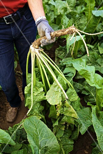 A framer harvesting horseradish