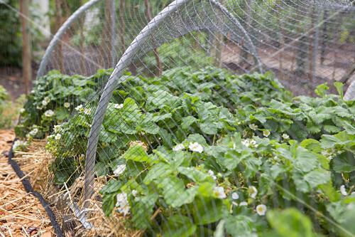 Strawberry plants growing under bird netting in garden