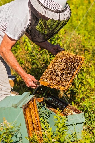 A beekeeper removing a honeycomb from a beehive