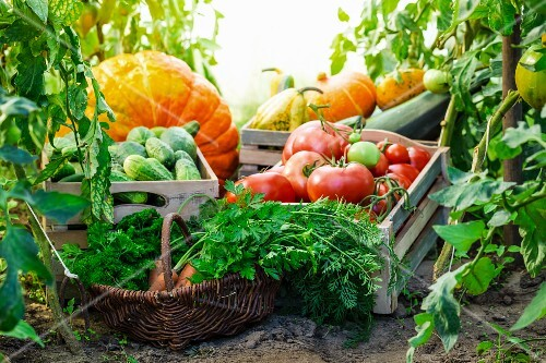 Various vegetables in crates and a basket in a greenhouse