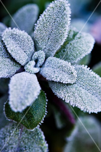Sage leaves covered with frost