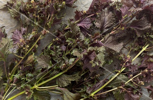 Fresh shiso leaves