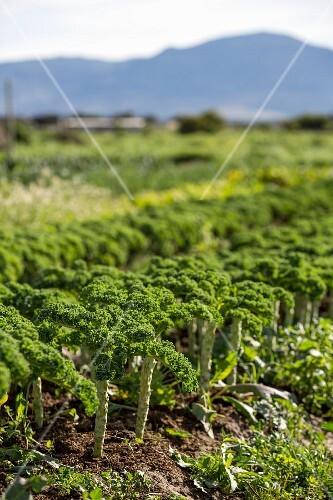 Kale in the field