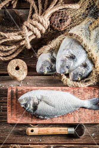 Freshly caught porgy with fishing utensils