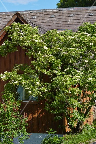 Flowering elder next to wooden house