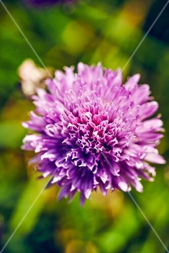 An ornamental onion in a garden