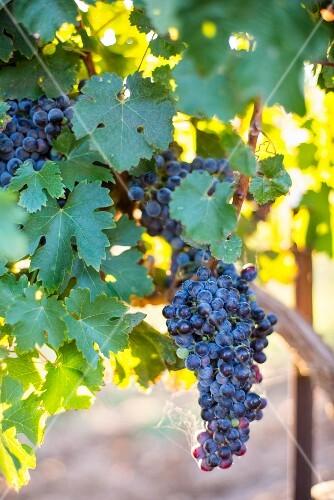 Black grapes on the vine