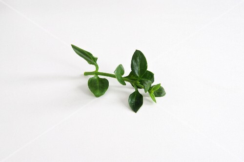 Fresh ice plant
