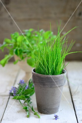 A pot of chives, sprigs of borage and rocket in the background