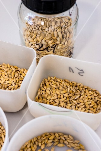 Beer being made: different types of barley in the Weihenstephan research centre, Bavaria, Germany