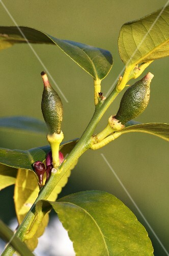Buds on a lemon tree