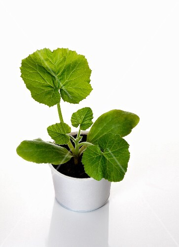 A courgette plant growing in cultivation pot