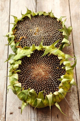 Dried sunflowers on a wooden surface