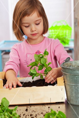 A little girl planting basil in a small wooden crate