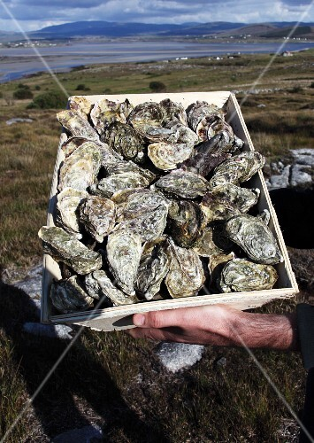 Hands holding a crate of fresh Irish oysters