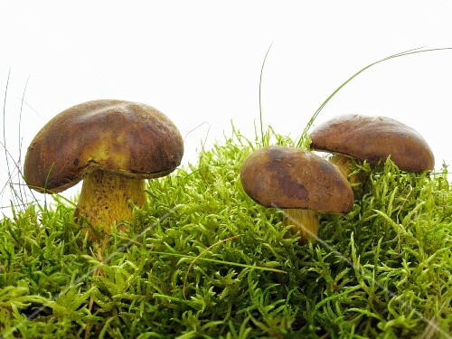 Three bay boltes on moss