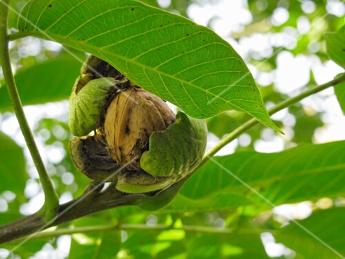 A walnut on a tree