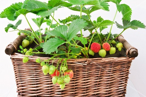 Strawberry plants in a basket