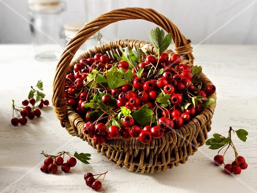 A basket of fresh hawthorn berries