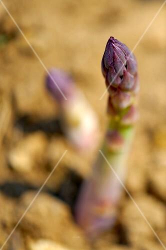 Asparagus in a field