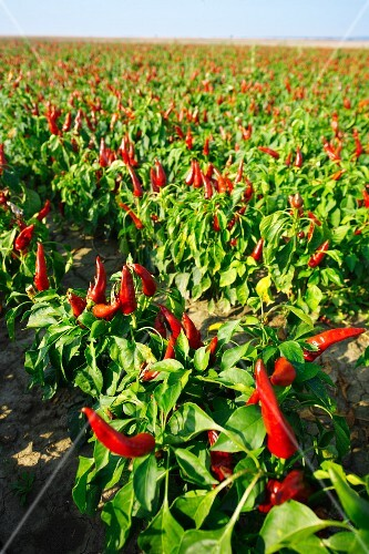 Field of peppers