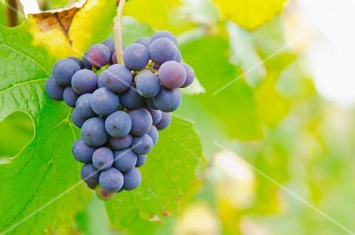 Pinot noir grapes on an autumn vine