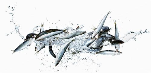 Sardines with water splash