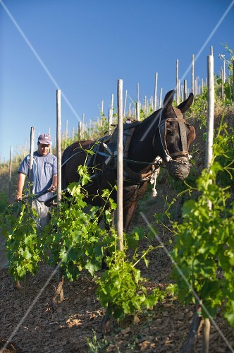 A horse being used to till the soil in the Ermita vineyard belonging to Alvaro Palacios, Catalonia